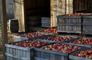 Apples Waiting for the Press